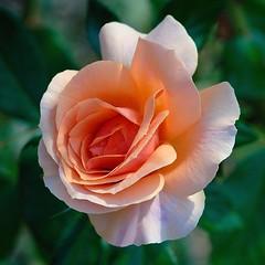 Today at Nervi Rose-Garden: a late rose (cienne45) Tags: flowers friends italy rose liguria arc cienne45 carlonatale genoa zena natale rosegarden nervi roseto excellence blueribbonwinner xploremypix impressedbeauty rosetodinervi multimegashot damniwishidtakenthat nervirosegarden