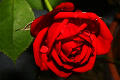 Red Rose (Ian Lambert) Tags: red england flower water rain rose garden drops lancashire colourartaward wonderfulworldofflowers