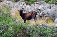 goat (ika_pol) Tags: sea mountains geotagged spain mediterranean wildlife mallorca balearicislands