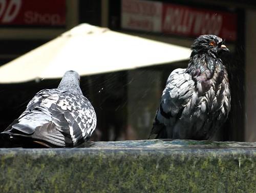 洗澡中的鳥.JPG