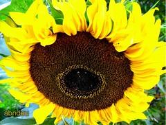 A little Sunshine for Everyone (abrideu away on Holiday) Tags: flowers nature canon sunflower naturesfinest blueribbonwinner explored bej abigfave platinumphoto anawesomeshot goldenheartaward virtualjourney abrideu