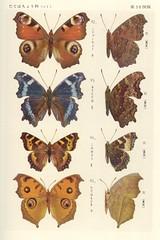 papillon 30