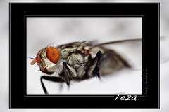 happy new year (Teza Ra) Tags: macro fly flies supermacro madagascar mouche malagasy insets raynoxdcr250 teza saryvaovao