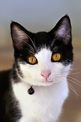 Ollie-kins (wishymom (Stephanie Wallace Photography)) Tags: portrait pet cat grandmother kitty bigmomma thechallengegame challengegamewinner