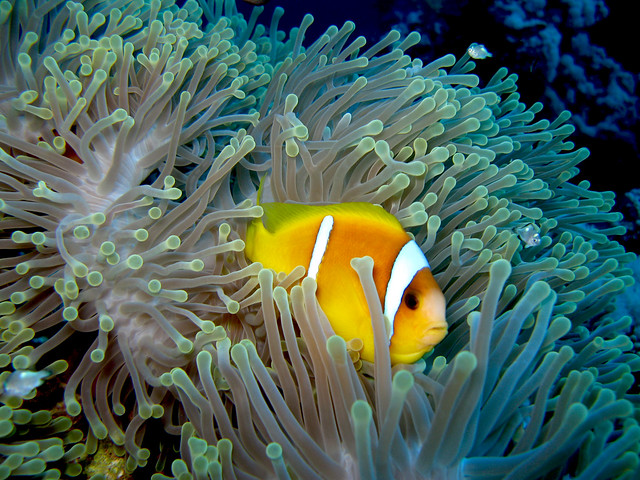 Diving Red Sea Anemonefish in Anemone