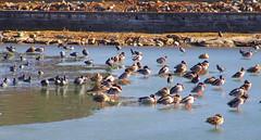 Winter duck beach! (susieblackmon) Tags: ducks canadiangeese frozenlake lakejunaluska
