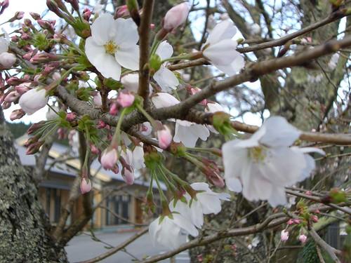 桜/Cherry blossom