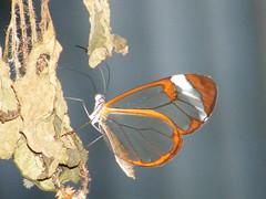 Glasswing (RvO) Tags: amsterdam butterfly zoo artis vlinder dierentuin glasswing glasvleugel