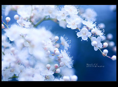 ' Endless cascade that looks like crystal or tiny flowers ' (Marie Eve K.A. (away..)) Tags: blue white flower macro nature canon dof crystal bokeh 100mm tiny elegant delicate cascade  azur   floret     elegantgroup