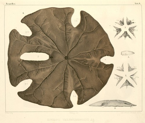echinoderm species - Encope valenciennesii Ag.