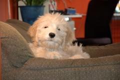 DSC_0534 (Dave Kent) Tags: dog puppy goldendoodle snapdragon