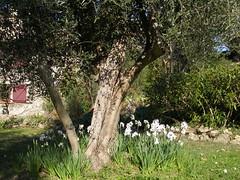 3009013 - Friday Olive Tree Blogging