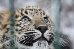 leo part 1 (foTobias.) Tags: wet fur nose zoo cub eyes caged leopard spotty cph lightiq