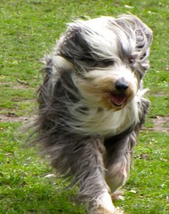 Robinson Running in the Park (Debbie G) Tags: dog running beardie robinson pfosilver