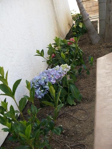 Gardenias and Hydrangeas