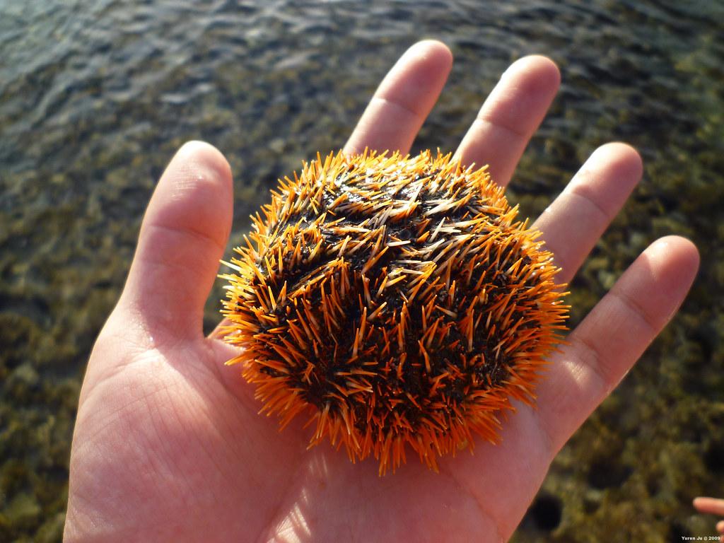 馬糞海膽,緯來日本台常出現