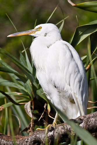 Eastern Reef Egret - white morph