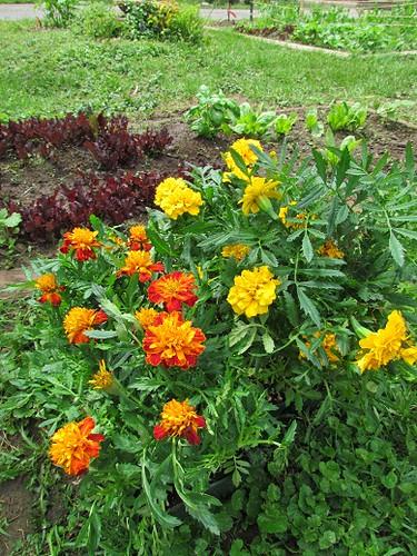 Stinky Marigolds