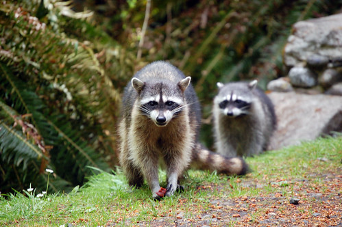 Raccoons in Point Defiance Park