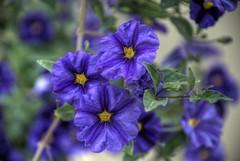 PASIÓN... PARA TI, CHEEKY (ABUELA PINOCHO ) Tags: flores macro violeta morado malva excellentphotographerawards superlativas phototalkgroup