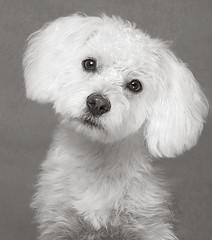 Elmo puppy (Piotr Organa) Tags: portrait bw dog pet toronto canada cute animal puppy shihtzu poodle shipoo 100commentgroup