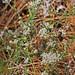 Littleleaf Buckbrush (Ceanothus microphyllus)