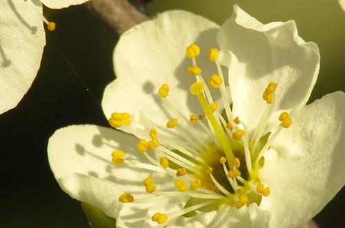 Plum Blossom Constellation II_AP50153_lzn copy