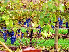 King Estate Vineyards (Paddy O) Tags: 2005 fall oregon vines king estate wine winery vineyards grape pinotnoir kingestate lorane