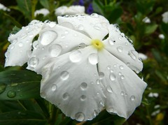 After rain  (Dave :-) (on and off)) Tags: white flower macro nature rain closeup dave drops iloveyou lovely soe flowerotica abigfave platinumphoto anawesomeshot aplusphoto goldstaraward waterdropsmacros