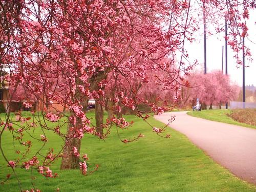 櫻花步道2