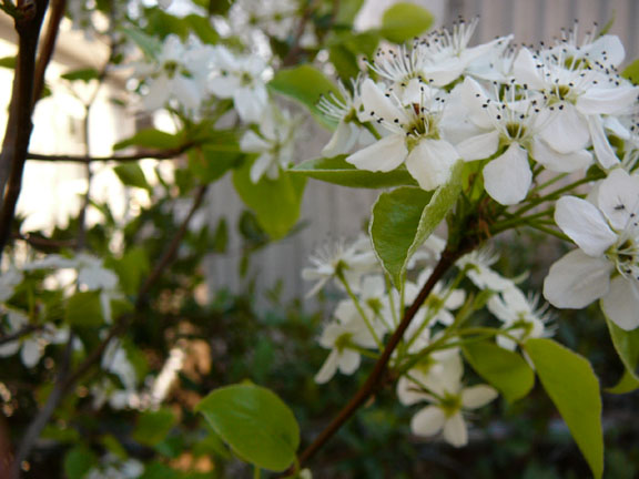pear blossoms?