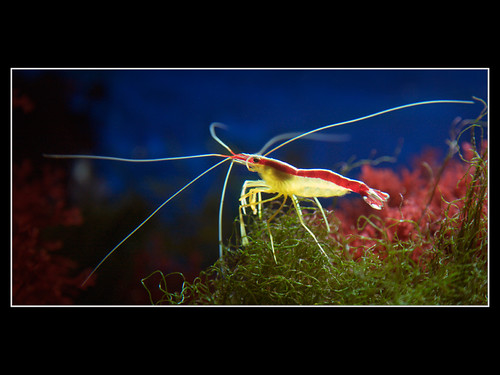 Cleaner Shrimp (Putzergarnele, Lysmata)
