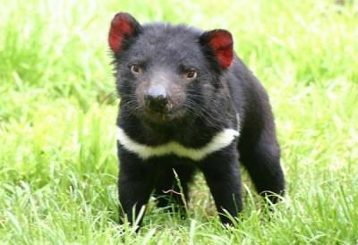 Demonio de Tasmania bebé