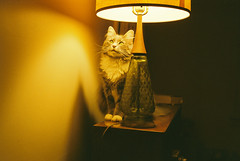 Cat watching a fly (Felip1) Tags: feline rangefinder mosca fillum olympus35dc fuji160film ilikethecolourofincandescentlight