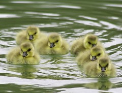 baby geese (*LINNY *) Tags: baby bird nature water birds swimming geese