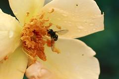 (blackteaj.justice) Tags: flower japan canon insect eos bokeh whores kanagawa kawasaki ef50mmf18 生田緑地 platinumphoto bokehwhores cmwdyellow brilliantphotography ikutaryokuchirose ばら苑