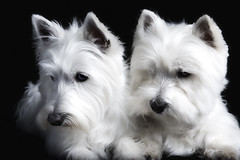 (paulh192) Tags: family portrait home dogs canon kirby michigan westie canine terrier westhighlandwhiteterrier grandrapids ourfriends snoopi impressedbeauty