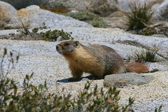 IMG_6462 (richardrichard) Tags: yosemite marmot yellowbellied olmsteadpoint
