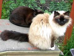 kitten breeder