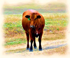 Brown Cow with Green Bow (Julie's Digital Photo Art) Tags: nature photomanipulation cow loveit picnik corelpainter naturewatcher discoveryphoto