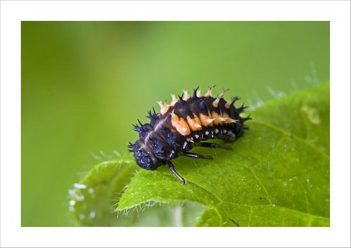 Harlequin ladybird larvae Harmonia axyridis Kenley Surrey