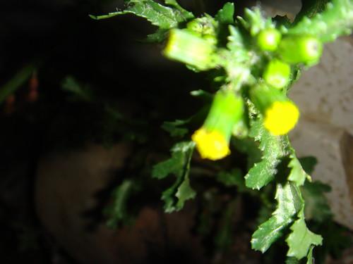 geceye ışık veren çiçek