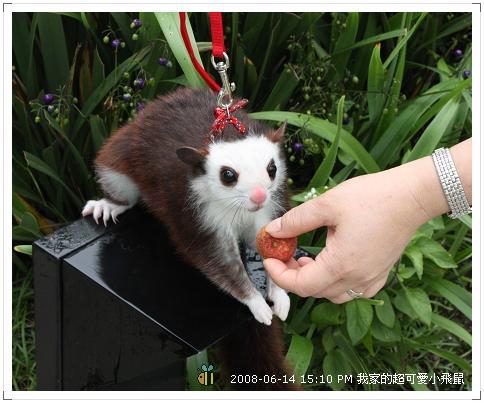 可愛小飛鼠 (1)