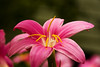 Pinky (edwardleger) Tags: pink flower nature louisiana pretty 2008 edwardleger exquisiteimage edwardnleger