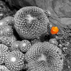 Making an appearance (soleil1016) Tags: summer cactus bw orange plants plant flower june cacti canon rebel 50mm blossom spears needles 2008 botanicalgarden xsi blooming selectivecolor c4p 450d