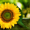 Sun in my head (Philippe Sainte-Laudy) Tags: flowers nature yellow bravo chapeau stunning bec ogm firstquality aplusphoto megashot bratanesque memoriesbook theunforgettablepictures philippesaintelaudy nikond300 sunnybisous theroadtoheaven multimegashot missedbeinghere mondocafeclub awesomeblossoms obq quickbisousandlotsofbestwishes