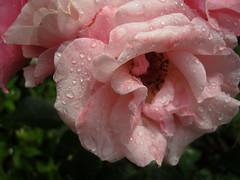 Regentropfen ... (bayernernst) Tags: park flowers wet water rain rose garden waterdrop rainyday blossoms blumen juli waterdrops 2008 blte garten regen nas raindrop ros wassertropfen tropfen blten regentag regenwetter regentropfen rainyweather 26062008 snc19904