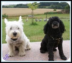 Black & White (Joy Bajay) Tags: dog chien noir westie terrier westhighlandwhiteterrier morbihan blanc caniche mfcc kermaux