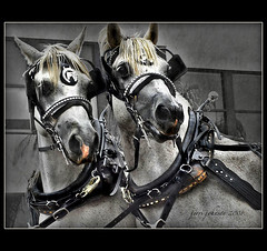 Gentle Beasts (Jerri Johnson (away)) Tags: california two portrait horses horse white black texture beach leather silver giant interestingness twins mainstreet huntington parade explore chapeau layers harness effect dragan huntingtonbeach soe beasts gentle draft yolk selectivecolor tether studded themoulinrouge galope artisticexpression isolatedcolor golddragon mywinners anawesomeshot blueribbonphoto infinestyle diamondclassphotographer flickrdiamond creativephotographers yourbestshot thegardenofzen breathtakingeyecatcher dragongold thankyoughostbones artdelibre damniwishidtakenthat damniwish thedavincitouch davincitouch michaelangelosbox atqueartificia vision100 phvalue thevisiongroup flickrdragan