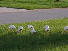 P8030012 (gruntersdad) Tags: birds ibis mylawn